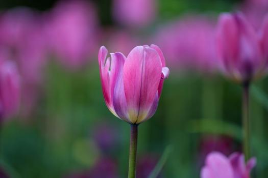 tulip-2665461_1920